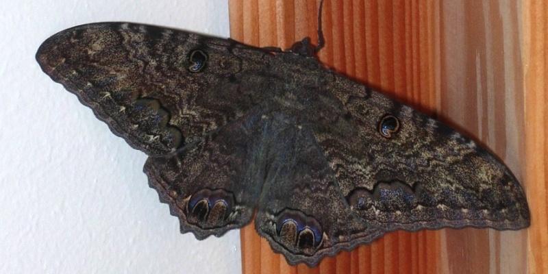 mariposas negras_rhafhaell