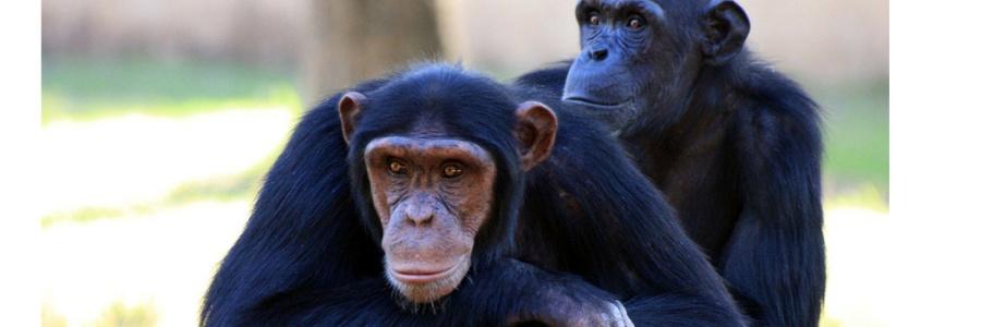papas simios